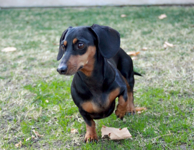 A female black and tan doxie