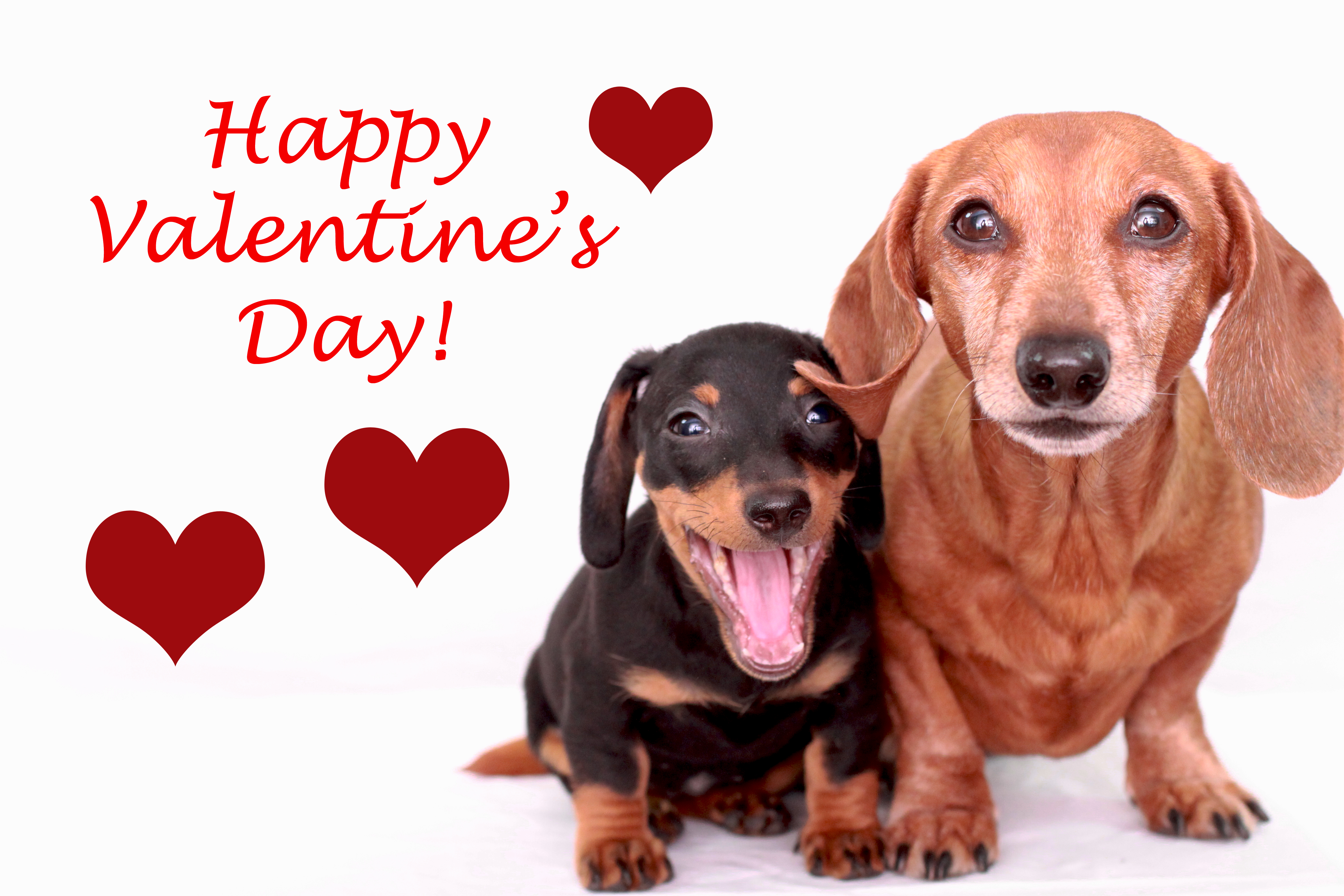 Happy valentine s day rufusontheweb - Valentines day pictures with puppies ...