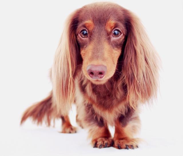 dachshund, doxies, longhair