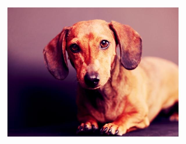 dachshund, doxies