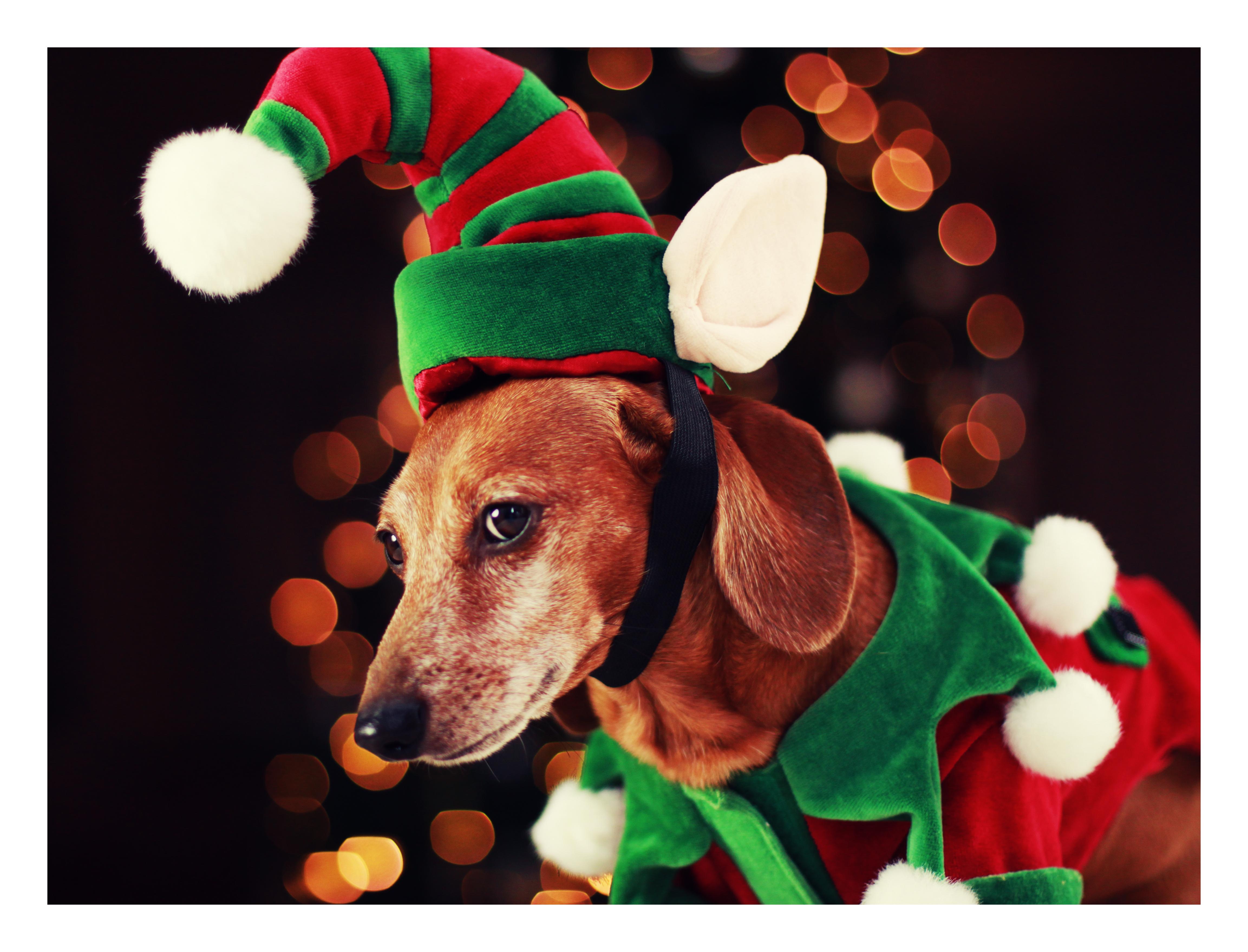 dachshund, doxies, Christmas | rufusontheweb