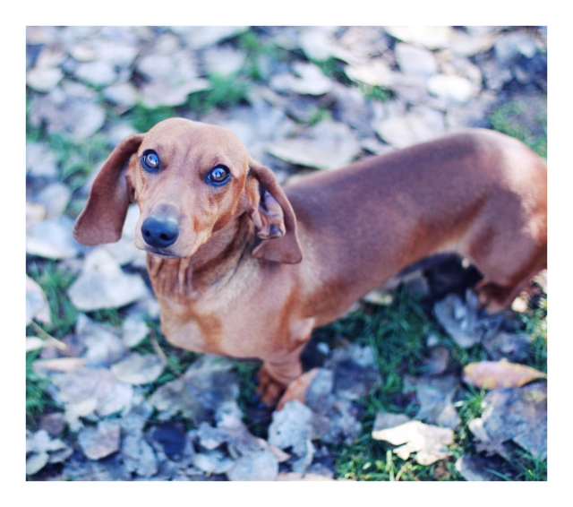 Rescue Doxie | December 2012.  Photo by: Johnny Ortez-Tibbels