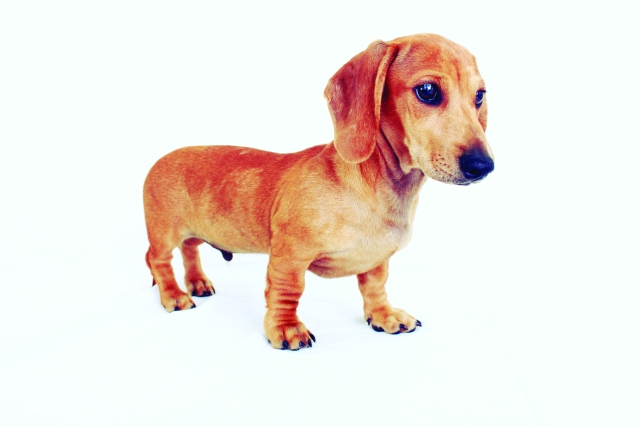 Page 98 of 102 Dachshunds.  Photo by: Johnny Ortez-Tibbels