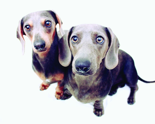 Page 31 of 102 Dachshunds | Photo by: Johnny Ortez-Tibbels