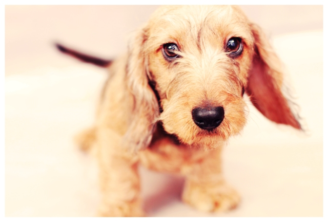 Wirehair Puppy | March 2012.  Photo by: Johnny Ortez-Tibbels