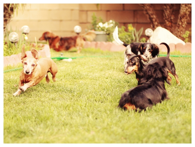 Doxies at Play | February 2013.  Photo by: Johnny Ortez-Tibbels ©