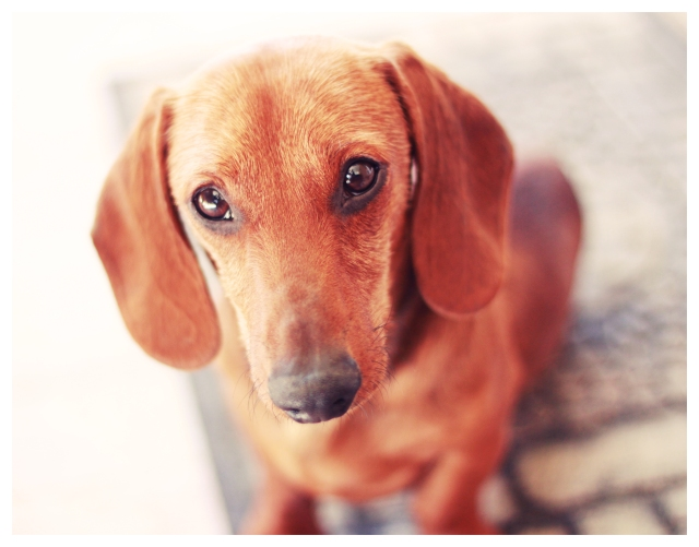 Beau, a rescue doxie | May 2013.  Photo by: Johnny Ortez-Tibbels ©