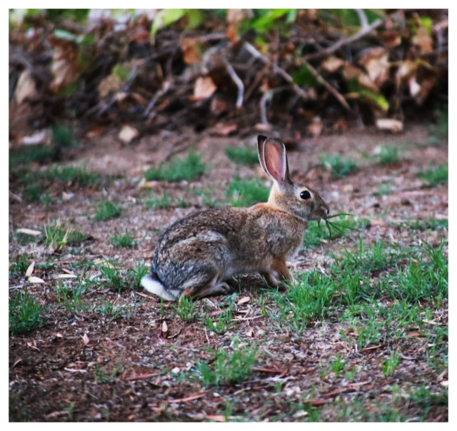 Neighborhood Rabbit | September 2013.  Photo by: Johnny Ortez-Tibbels ©