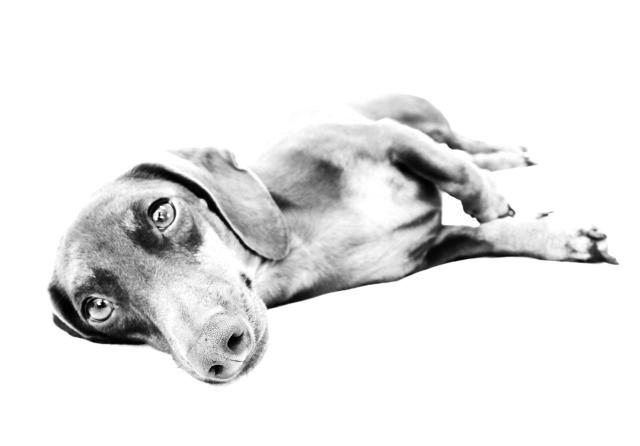 dachshund, doxies, RIP