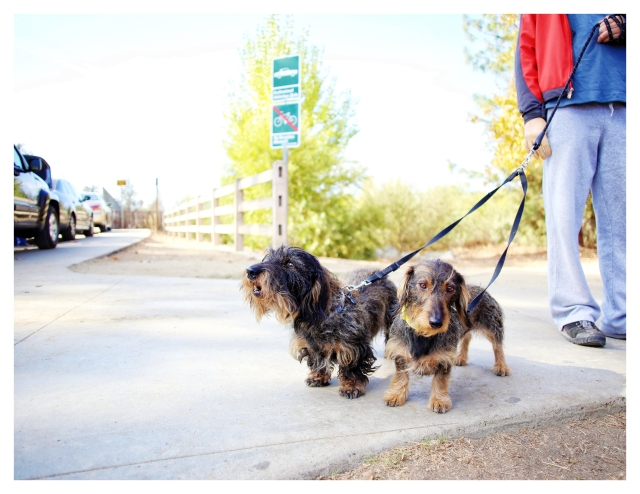 Wild Boar Wirehair Standard Dachshunds | November 2013.  Photo by: Johnny Ortez-Tibbels ©