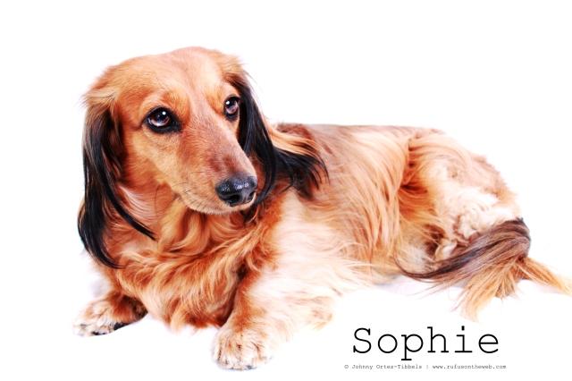 dachshund, doxies, longhairdachshund