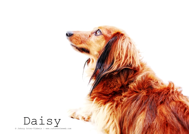 Daisy | February 2011.  Photo by: Johnny Ortez-Tibbels ©