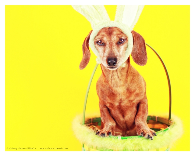 Rufus | April 2012.  Photo by: Johnny Ortez-Tibbels ©