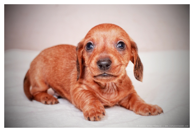 Wirehair Dachshund Puppy | February 2012.  Photo by: Johnny Ortez-Tibbels ©