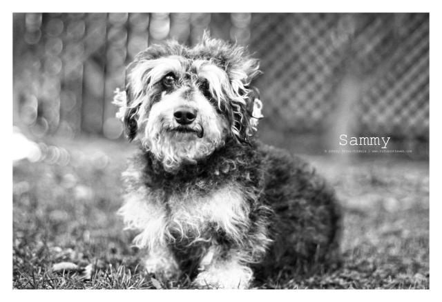 dachshund, doxies, wirehairdachshund, RIP