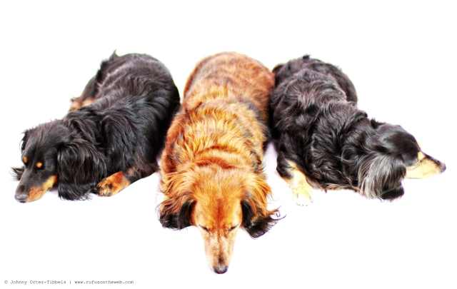 Dachshund Pile | 2012.  Photo by: Johnny Ortez-Tibbels ©