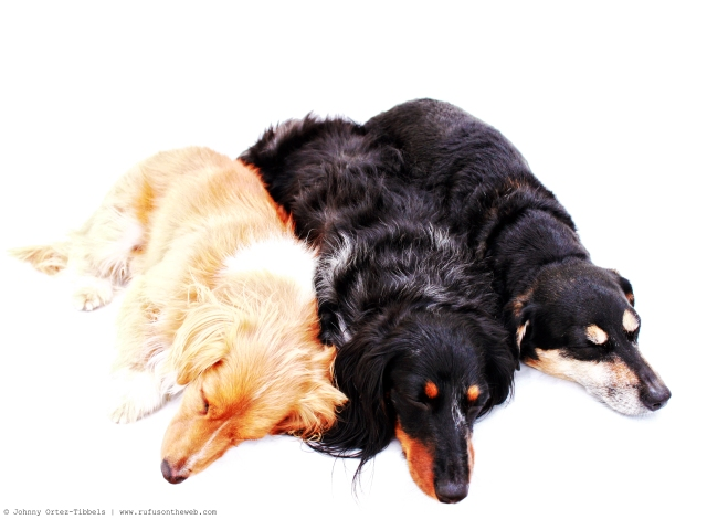 Dachshund Pile | 2011.  Photo by: Johnny Ortez-Tibbels ©