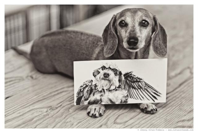 dachshund, doxies, Rufus