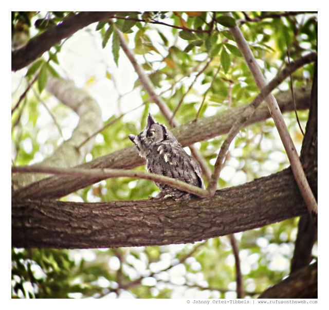 An Owl | September 2014.  Photo by: Johnny Ortez-Tibbels ©