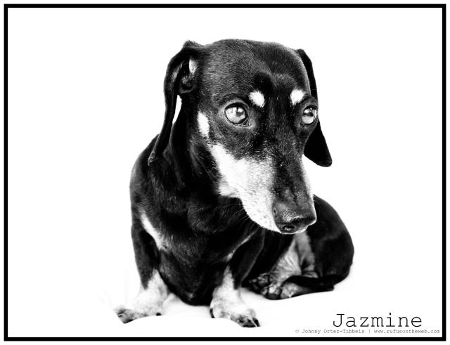 dachshund, doxies, RIP, blackandtan
