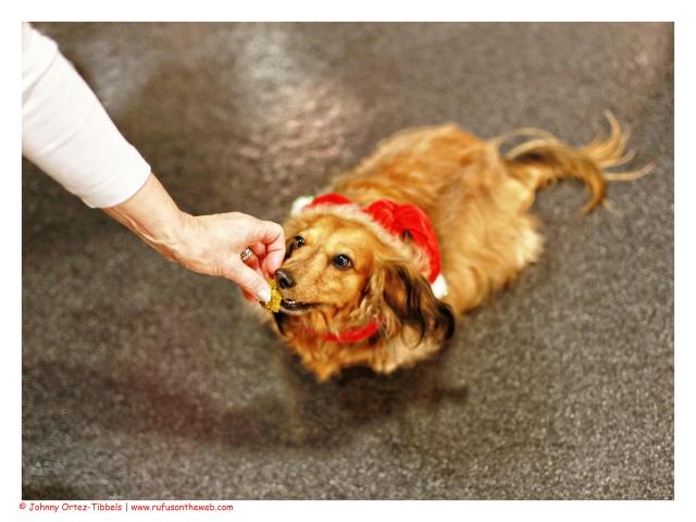 dachshund, doxies, holidays