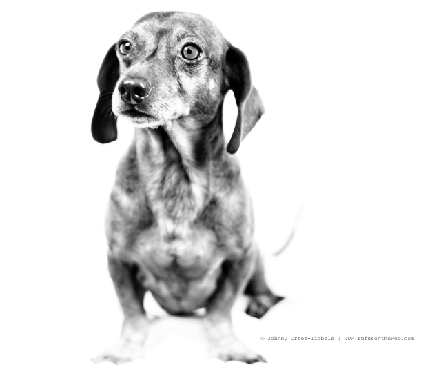 dachshund, doxies, RainbowBridge, RIP