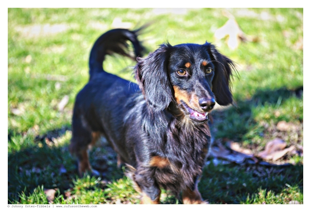 Marley from Ojai Doxies   January 2015.  Photo by: Johnny Ortez-Tibbels ©