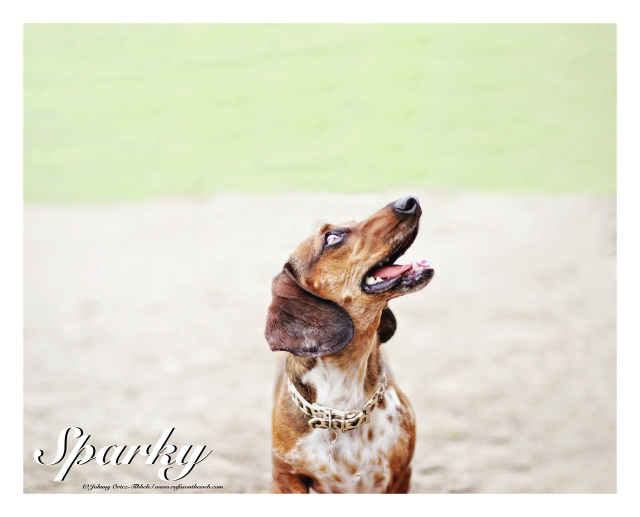 Sparky   March 2015.  Photo by: Johnny Ortez-Tibbels ©