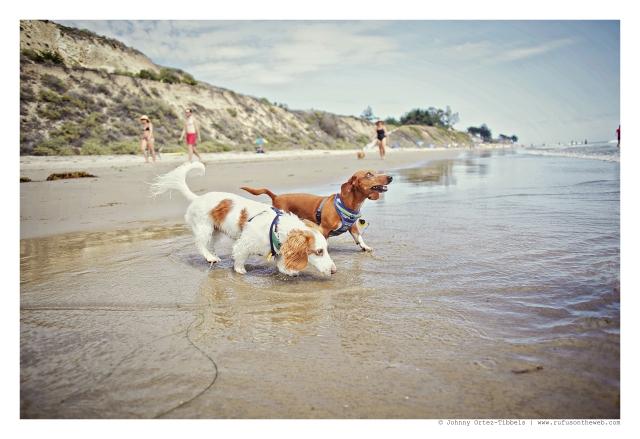 Dachshund day at the Beach | July 2015.  Photo by: Johnny Ortez-Tibbels ©