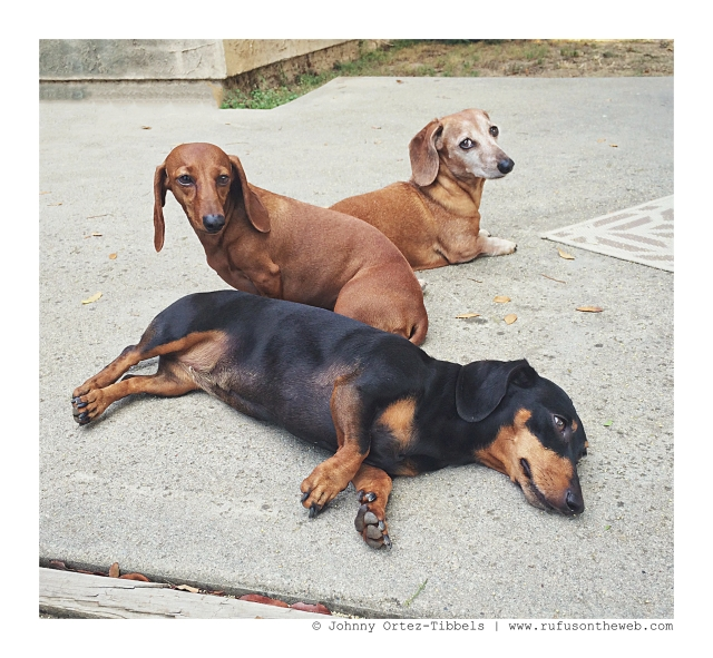 Rufus healing in the sun with his pack | September 2015.  Photo by: Johnny Ortez-Tibbels ©