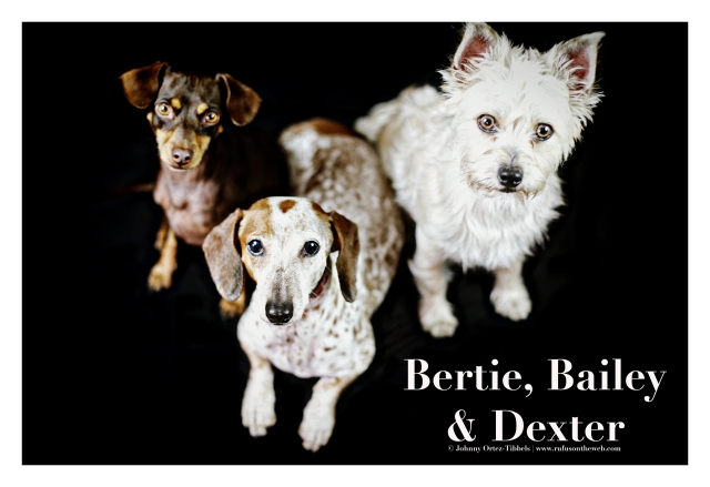 Bertie, Bailey & Dexter | August 2015.  Photo by: Johnny Ortez-Tibbels ©