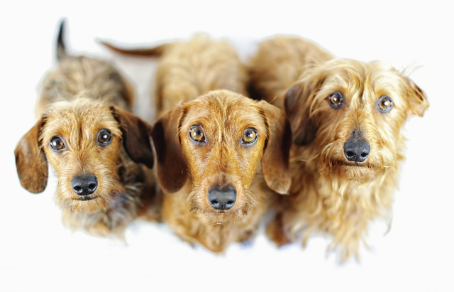Wirehair Dachshund Pack | September 2015. Photo by: Johnny Ortez-Tibbels ©