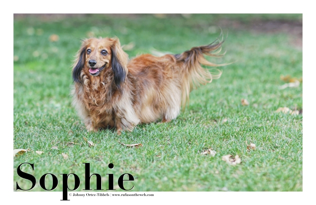 Dachshund, Doxies, Longhairs, Sassy