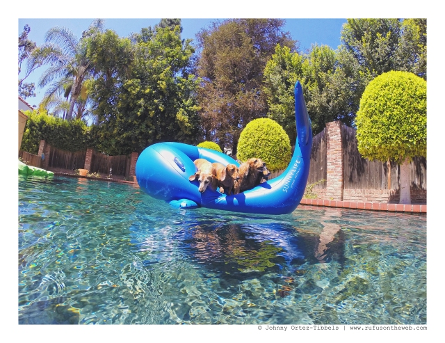 Dachshund Pool Party | August 2016. Photo by: Johnny Ortez-Tibbels ©