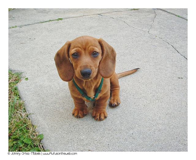 Rufus, as a puppy