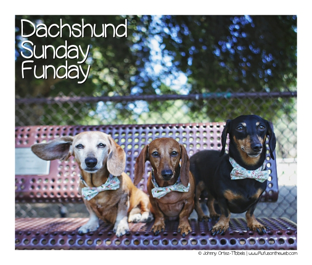 Dachshund Sunday Funday with our #Stylehounds