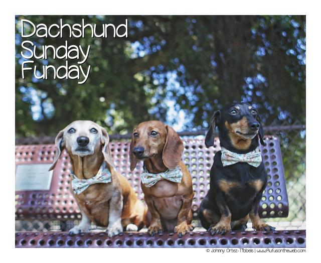 Dachshund Sunday Funday