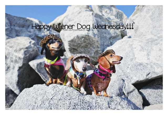 Happy Wiener Dog Wednesday © Johnny Ortez-Tibbels | www.Rufusontheweb.com